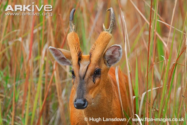 Male-southern-red-muntjac-in-grassland.jpg